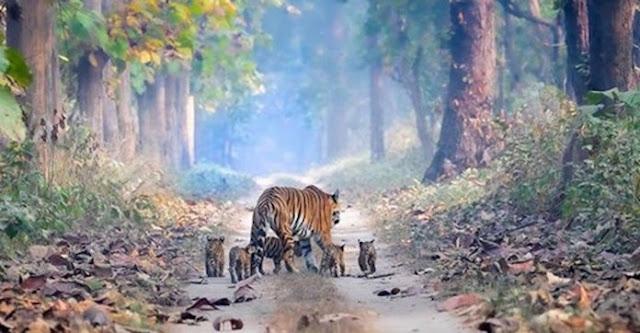 Fotografo registra uma tigresa passeando com seus 5 filhotes em uma floresta indiana