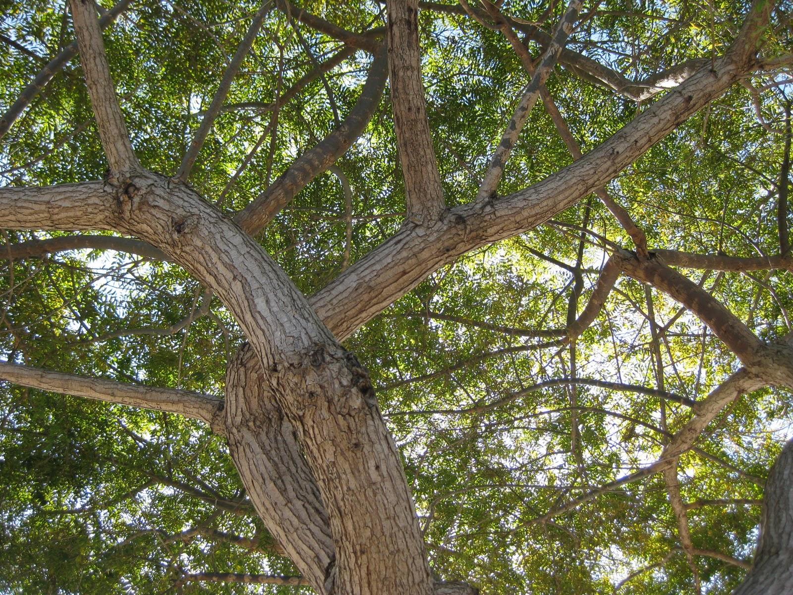 trees of santa cruz county tipuana tipu tipu tree