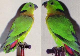 Harga Lovebird Kerah Hitam