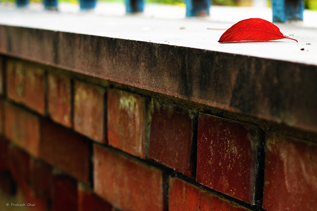 A Minimalist Photo of a red leaf at Smriti Van, Jaipur.