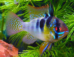 German Blue Ram Fish