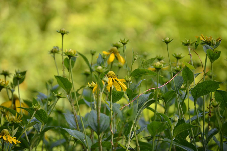 green-headed+coneflower Crawling Houseplants on