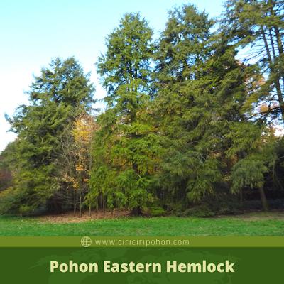 Ciri Ciri Pohon Eastern Hemlock