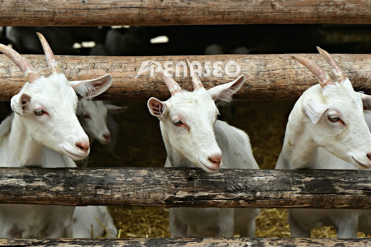 Intip Cara Beternak Kambing yang Menguntungkan dan Sukses