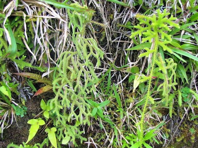 lycopodiacea licopodium plant costa rica