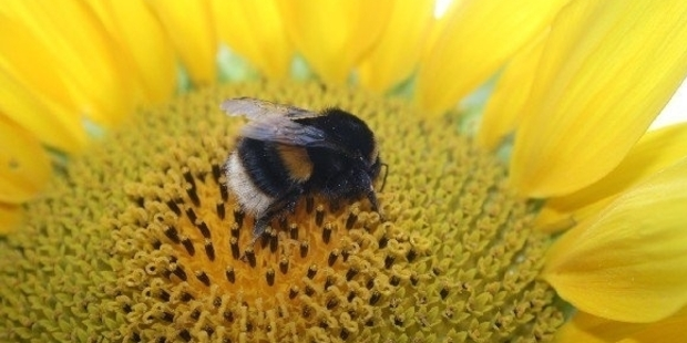 Bumblebees learn to score goals for the sweet taste of success