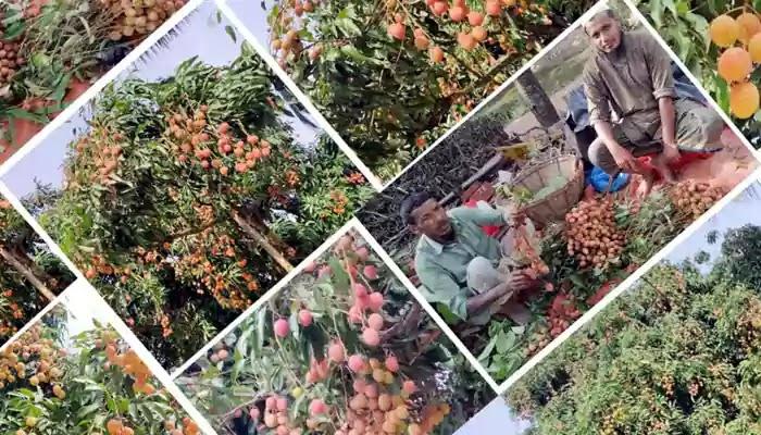 কালিপুরের রসালো লিচু, যাচ্ছে দেশের বিভিন্ন স্থানে