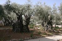 Каникулы в Израиле (Путеводитель) - христианских святынь: Гефсимания