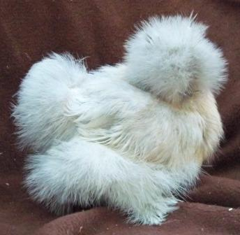 california country ranch silkie chickens