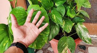 money plant big leaf