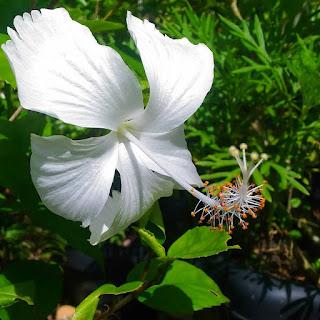 bunga kembang sepatu putih