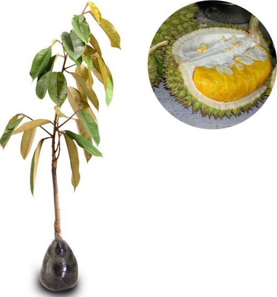 Bibit Tanaman Buah Durian Montong 60cm Sumatra Utara