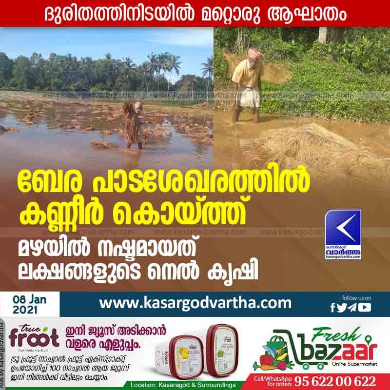 Kerala, News, Kasaragod, Madhur, Agriculture, Farmer, Farming, Rain, Wheat, Rice, Rain destroys agricultural fields in Bera.