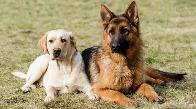 German Shepherd or a Labrador?