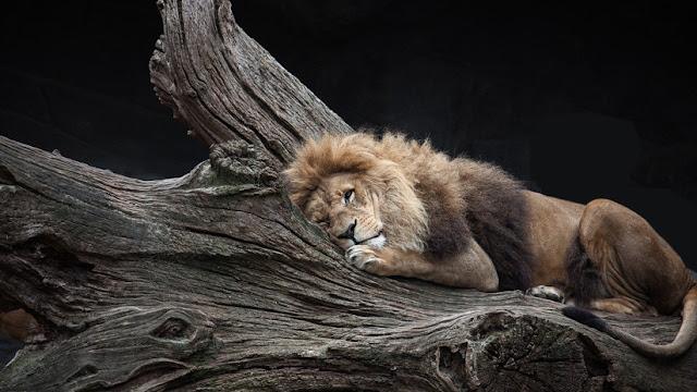 Retratan a varios leones dormidos en las ramas de los árboles