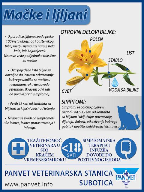 Ljiljani su otrovni za mačke Panvet Subotica