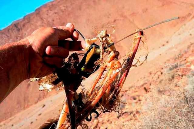 Osprey' bones and the satellite transmitter.
