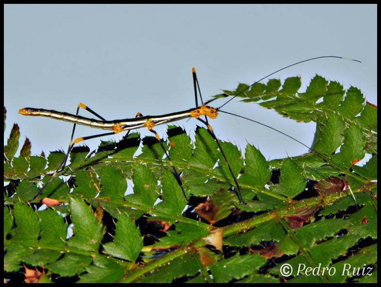 Ninfa hembra L3 de oreophoetes peruana, 3 cm de longitud
