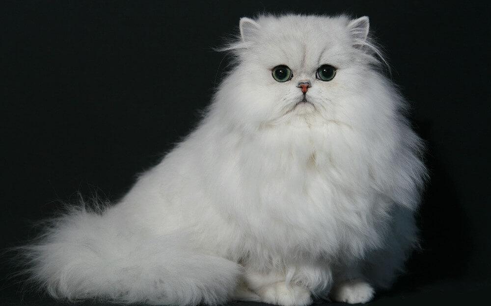 Características Comportamiento Y Cuidados Del Fascinante Gato Persa Chinchilla Oxitocina Magazine Revista De Mascotas En Panamá