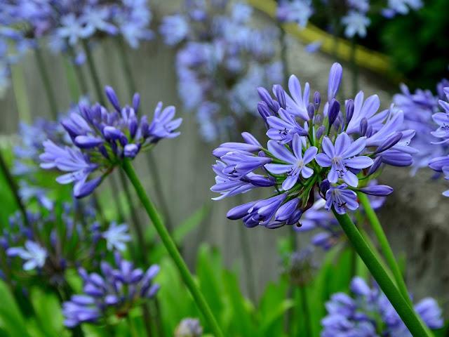 niebieski agapant