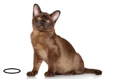 Cat-Burmese