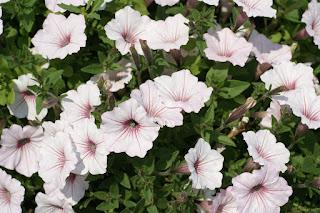 Petunia - Supertunia Vista Silverberry