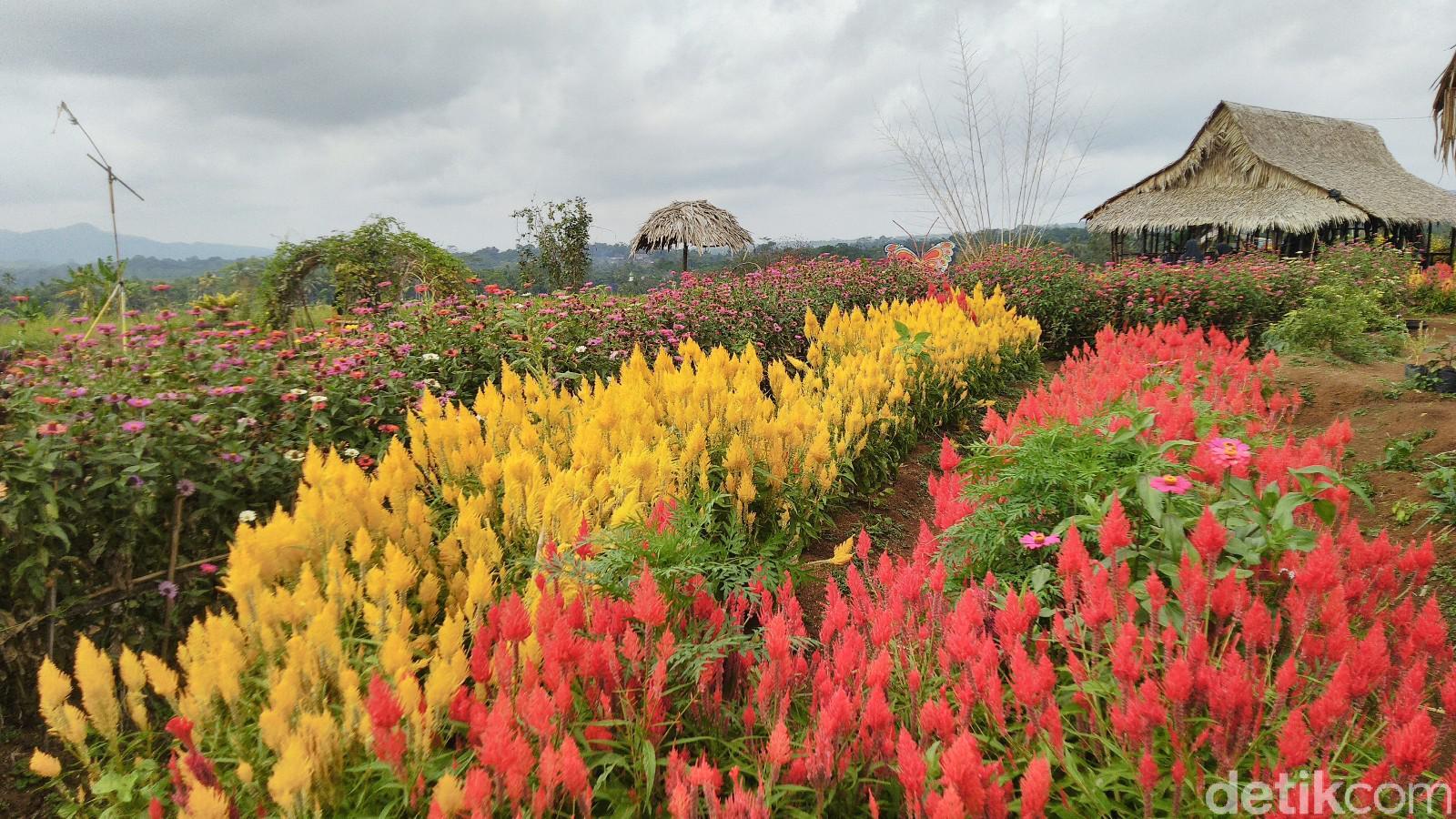 Hamparan bunga Celosia diEkowisata Kampoeng Sawah