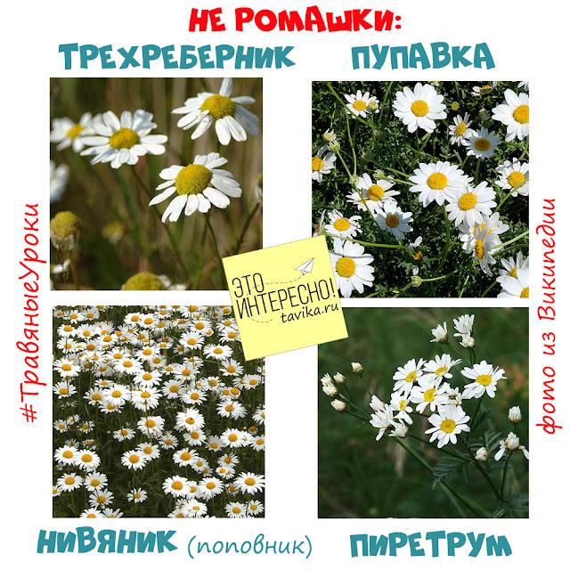 похожие на ромашку цветы