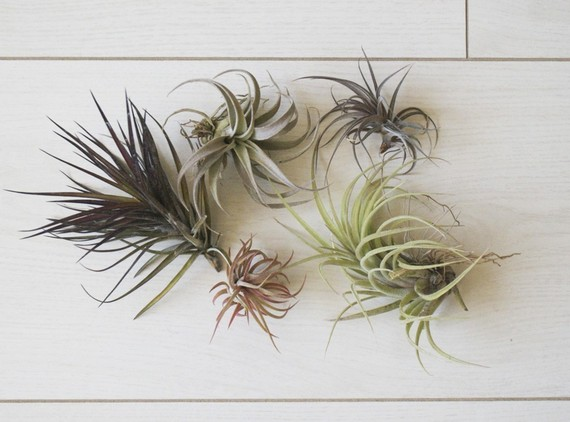 There Really Is No Limit To What You Can Do With Your Air Plants Put Them In Any Kind Of Container Gl Jars Vases Bowls Candle Holders Etc