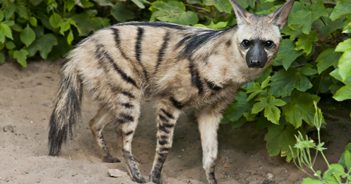 Aardwolf Animals Amazing Facts & Amp Latest Pictures All