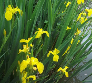 http://tukangtamankaryaalam.blogspot.com/2015/10/pohon-airis-pohon-irish-bunga-kunhttp://tukangtamankaryaalam.blogspot.com/2015/10/pohon-airis-pohon-iris-bunga-kuning.htmling.html