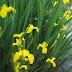 Pohon Airis | Pohon Iris Bunga Kuning