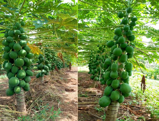organic pawpaw farming kenya