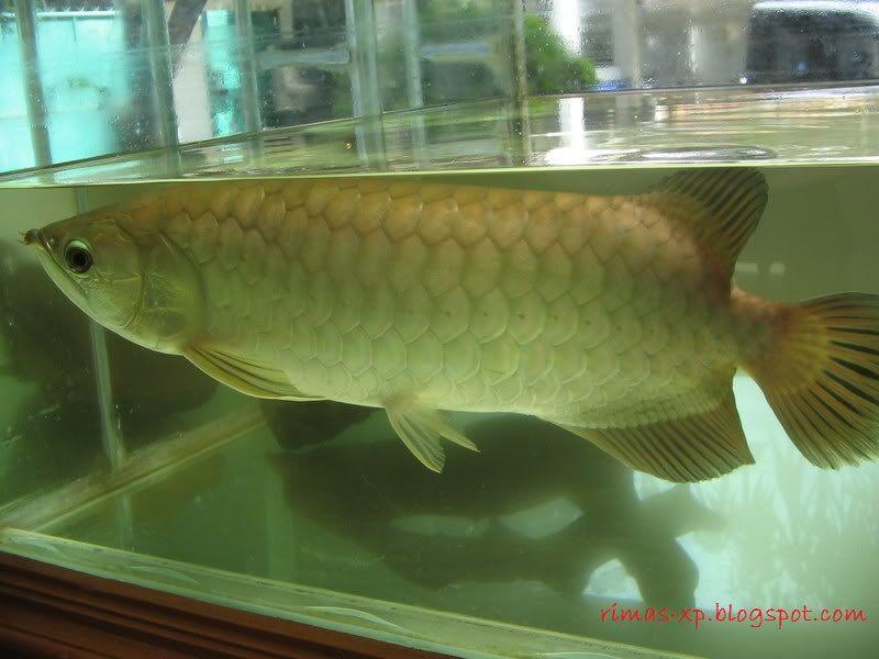 Gambar, Foto Arwana Pino Jenis Ikan Hias Tawar Yang Berwarna Hijau