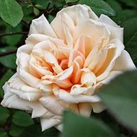 Safrano (Rosa tea)