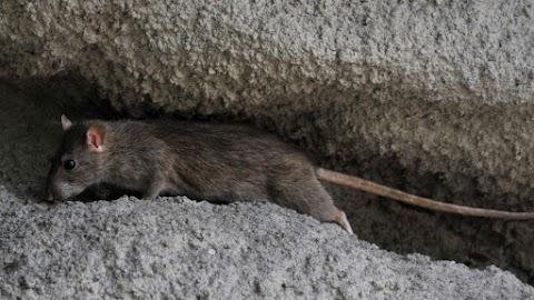 Vizsgálatot indít Tarlós István a patkánymentesítés közbeszerzési eljárása ügyében