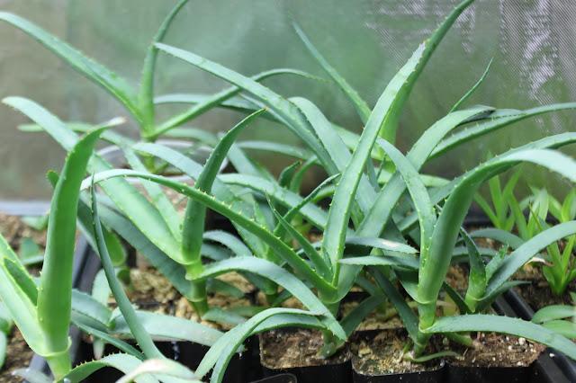Aloe thraskii about 4 months old