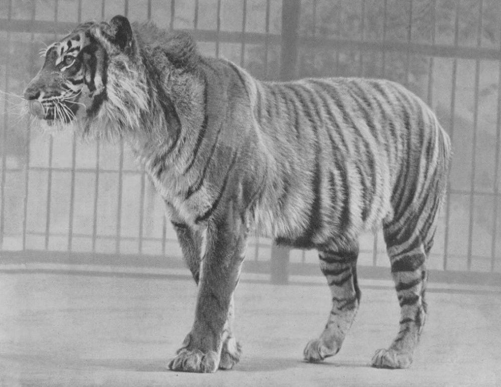 Kabar Baik yang Mengejutkan, Harimau Jawa Dilaporkan Belum Punah!
