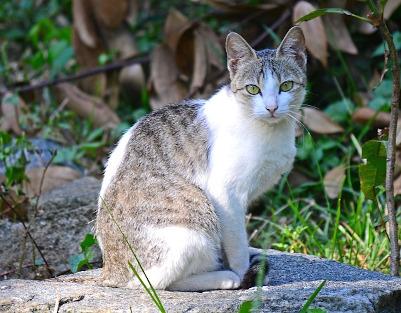 Gato europeo manchado en la naturaleza.