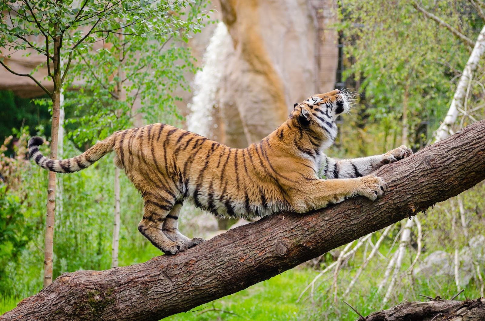 tiger-stretching-over-brown-trunk-during-daytime-pictures