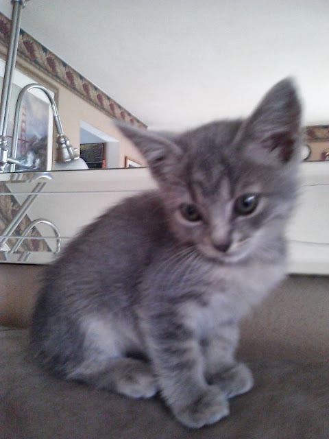 grey kitten on couch