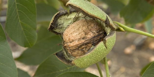Μικρή αναμένεται η φετινή παραγωγή καρυδιού στα Φάρσαλα