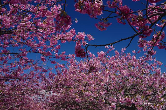 伊豆・河津櫻祭,半透明的花瓣,遠遠看就像瑩然的水晶,非常漂亮