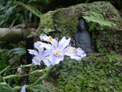 妙法寺のシャガ