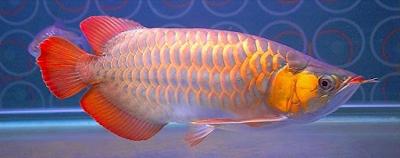 Gambar Ikan Arwana Super Red Klasik