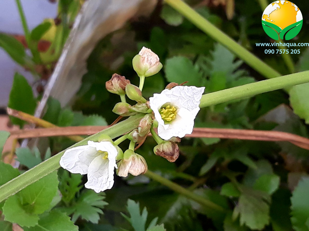 Cây thủy sinh Lan Muỗng ra hoa rất đẹp