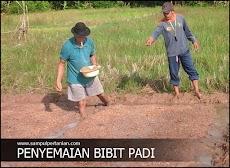 Tebar benih padi atau penyemaian benih padi