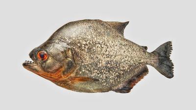 Dangerous Fish, Piraña, Piranha