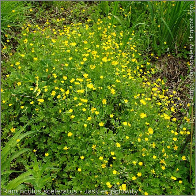 Ranunculus sceleratus habit - Jaskier jadowity pokrój