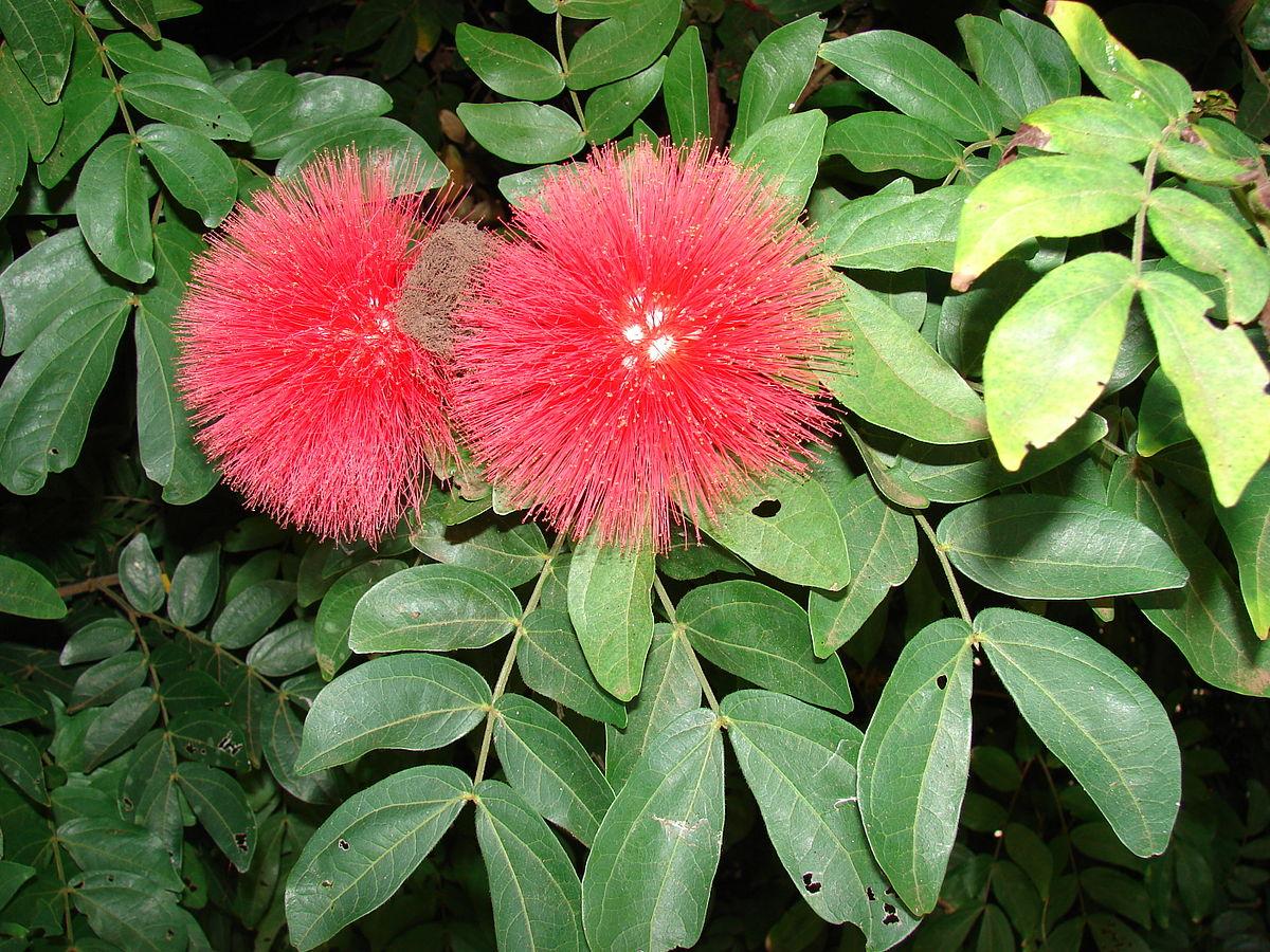 Jual Benih / Biji Pohon Kaliandra Merah